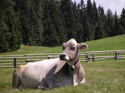 Bruna Alpina Cow